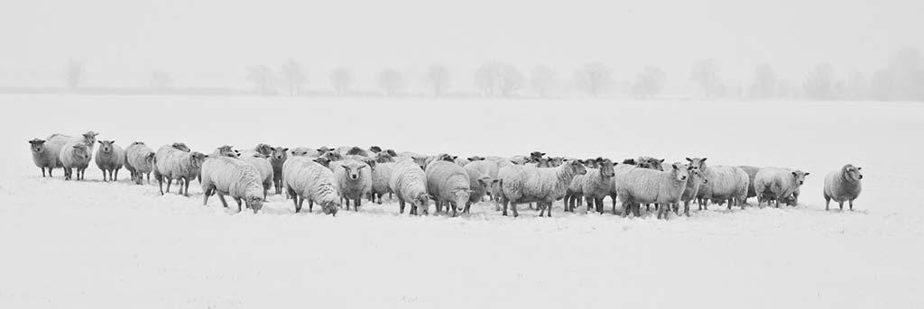 Schafskälte - Schafe im Schnee